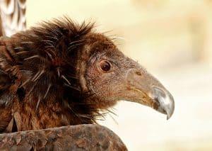 CA condor Dolly-Tad Motoyama