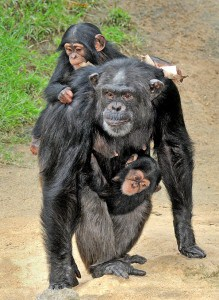 Yoshi Carrying Her Baby & Another Baby (Gracie's_)on her back 7-18-13_Tad Motoyama 5498 Photo Credit LA Zoo